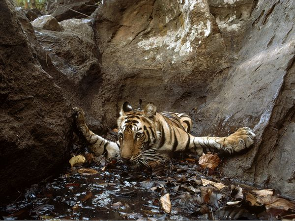 bathing-tigress_34946_600x450